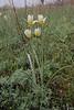 Tulipa talijevii