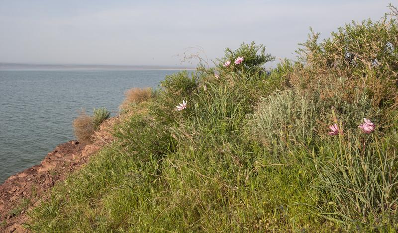 Tragopogon ruber