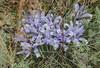 Iris tenuifolia