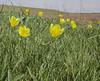 Tulipa kolpakowskiana,  (citron form)