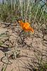 Tulipa Lehmanniana