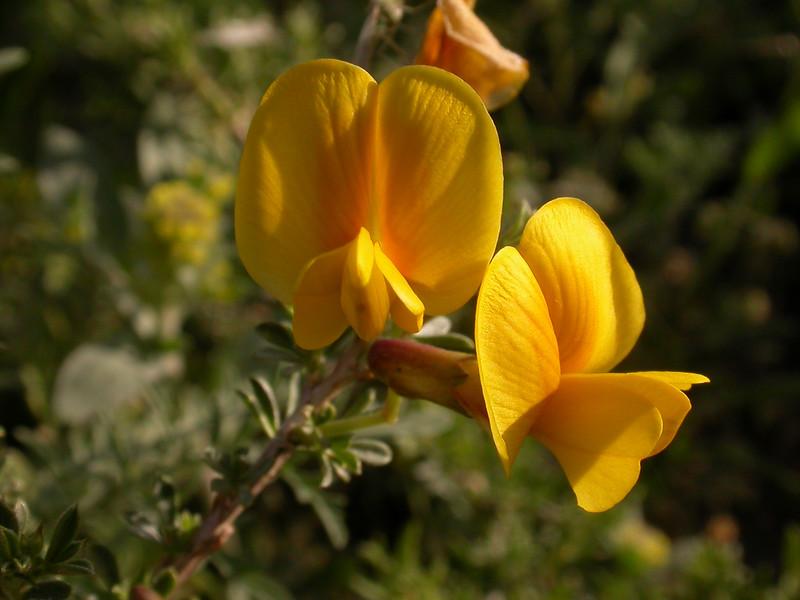 Caragana balchaschensis