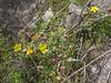 Anemone gortschakowii