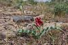 Seedpots of Tulipa bifloriformis and Tulipa alberti