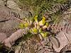 Astragalus syreitschikovii