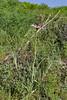 Tragopogon marginifolius