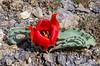 Tulipa alberti , (Karatau form)