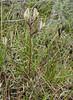 Astragalus macrotropis