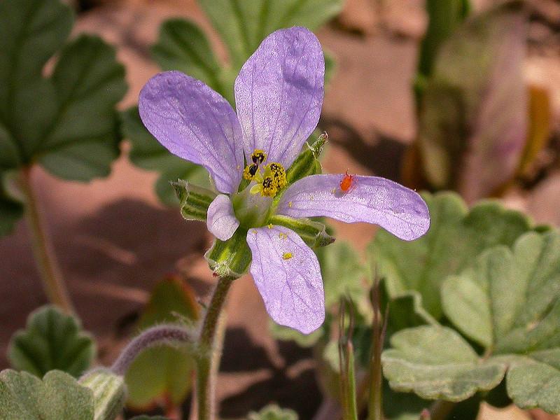 Erodium hoefftianum