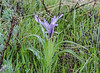 Juno (Iris) kuschakewiczii