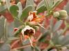 Zygophyllum taldy-kurganicum
