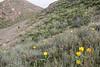 Tulipa alberti between Ephedra intermedia