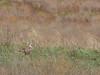 Buteo rufinus