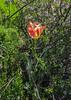 Tulipa greigii x kaufmanniana