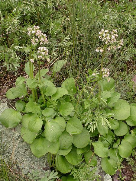 Valeriana ficariifolia