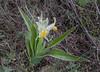 Juno (Iris) orchioides