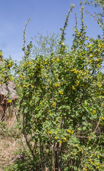 Berberis sphaerocarpa
