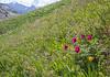 Tulipa thianschanica, Iris alberti and Paeonia intermedia
