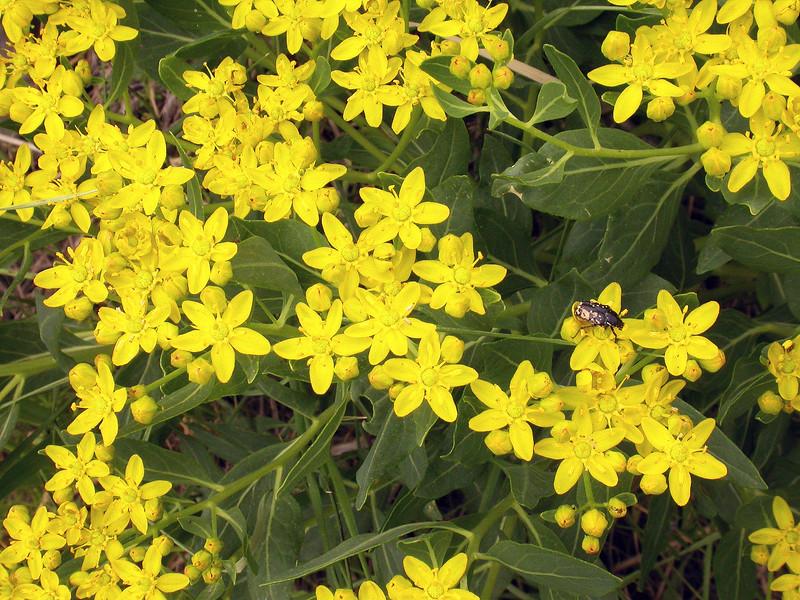 Haplophyllum latifolium