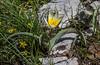 Tulipa dasystemonoides