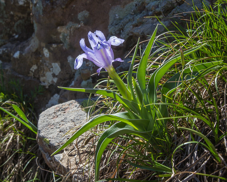 Juno (Iris) willmottiana
