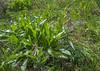 Korolkowia sewerzowii (= Fritillaria sewerzowii)