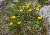 Ranunculus alberti