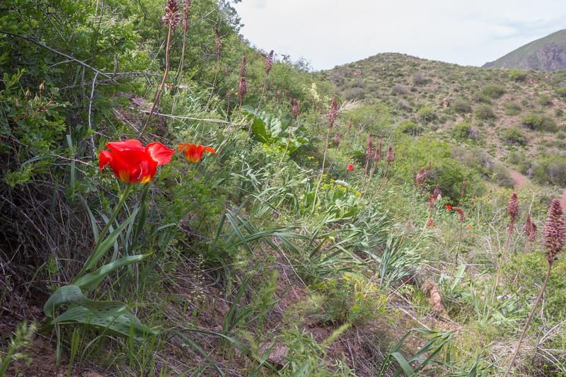 Tulipa greigii and Eremurus cristatus