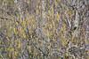 Betula tianchanica
