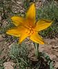 Tulipa thianschanica