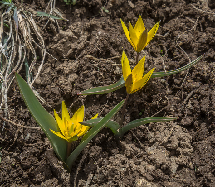Tulipa dasystemon and Tulipa heterophylla