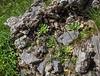Rosularia glabra