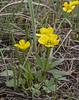 Ranunculus rubrocalyx