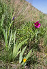 Iris alberti, Paeonia intermedia and Tulipa thianschanica