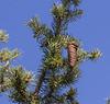 Picea schrenkiana