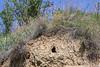 Nest of Coracias garrulus