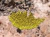 Pleopsidium flavum