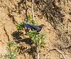 Myophonus caeruleus ssp. temminckii