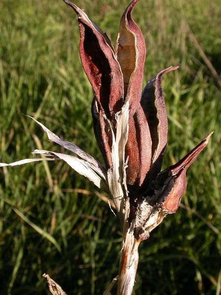 Iris spuria ssp halophila