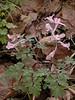 Corydalis glaucescens