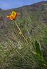 Tulipa zenaidae