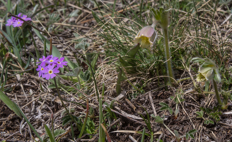 Primula algida and Pulsatilla campanella
