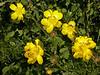 Ranunculus regelianus