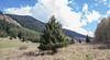 Picea schrenkiana and Betula pendula