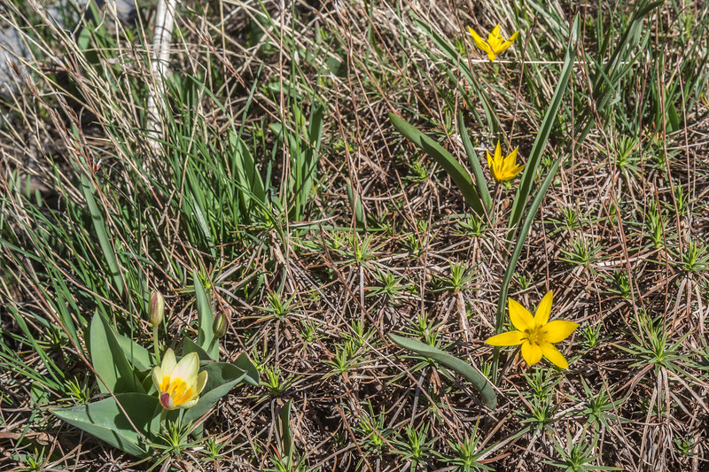 Tulipa dasystemonoides and Tulipa kaufmanniana