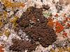 Acarospora spec
