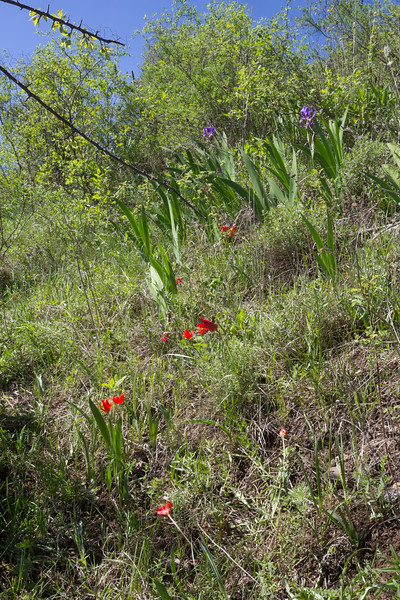 Tulipa ostrowskiana and Iris alberti