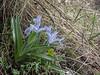Juno (Iris) albomarginata (= coerulea)