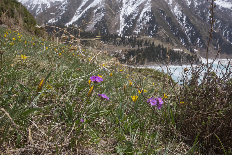 Tulipa dasystemon , Tulipa heterophylla and Primula algida