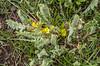 Astragalus anisomerus
